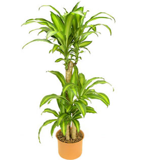Tall Potted Plants tall potted plant - china plant - chinaflowersshop