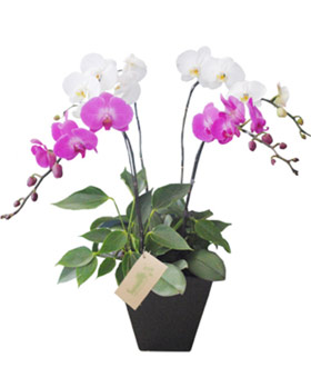 White Purple Orchid